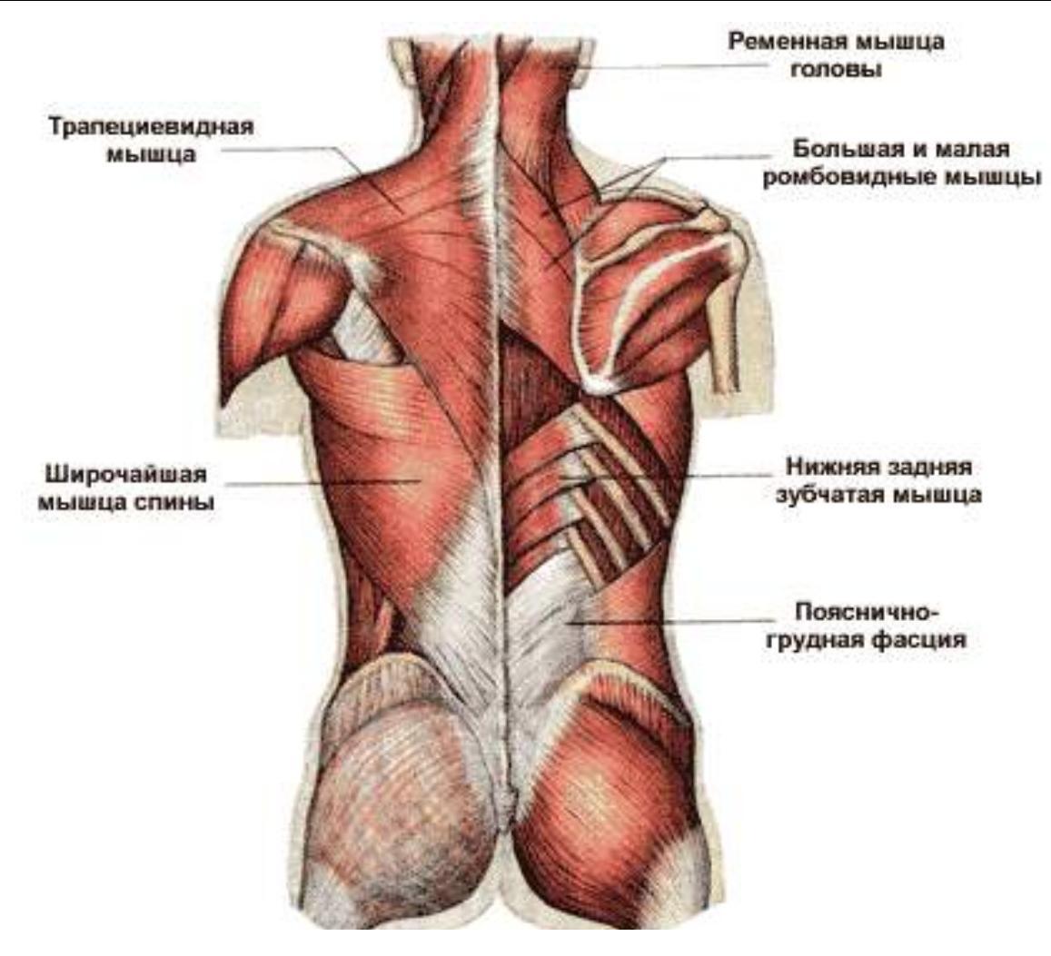 Укрепление мышц-вращателей плечевого сустава техника подвижности тазобедренного сустава