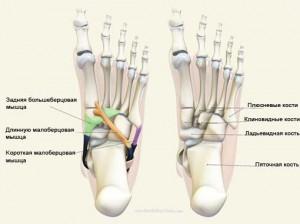 анатомия стоп